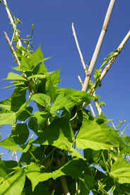 pic of green bean  - Green beans plants in agricultural land - JPG