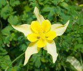 picture of columbine  - Aquilegia flower - JPG