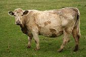 image of charolais  - heavily pregnant charolais cow - JPG