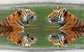 picture of tigress  - Siberian Tigers in water  - JPG