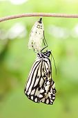 stock photo of chrysalis  - amazing moment about butterfly change form chrysalis - JPG