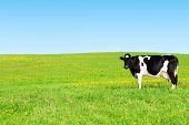 picture of cow  - Cow grazing on a green meadow - JPG