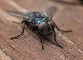 picture of blowfly  - Common blue blow - JPG