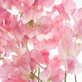 stock photo of sweetpea  - pink fresh sweet pea flower pattern or background - JPG