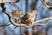 stock photo of ring-dove  - Mourning doves resting in midwinter perch on tree branches with blue sky behind. ** Note: Soft Focus at 100%, best at smaller sizes - JPG