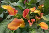 stock photo of arum lily  - orange calla lily with many leaves as floral background - JPG