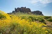 picture of superstition mountains  - Yellow wildflowers bloom in front of Superstition Mountains desert - JPG