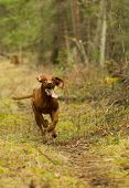 picture of vizsla  - fast running hungerian hunting dog vizsla throu the forest