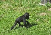stock photo of ape  - A full length portrait of a young gorilla male walking on the grass - JPG