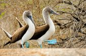 stock photo of blue animal  - two galapagos island blue footed boobies on a rock - JPG