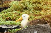 foto of albatross  - yellow headed waved albatross native to the galapagos islands - JPG