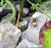 picture of cocoon  - female wolf spider with cocoon on a wet gray stone after rain - JPG