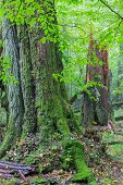 image of linden-tree  - Old broken linden tree in autumn deciduous stand of Bialowieza Forest - JPG