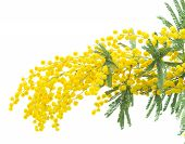 foto of mimosa  - Fresh french mimosa isolated on white background - JPG