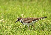 picture of killdeer  - Killdeer Charadrius vociferus walking in the grass looking for food - JPG