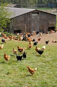 stock photo of poultry  - France poultry farming in Brueil en Vexin - JPG