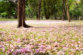 picture of trumpet flower  - Flower Of Pink Trumpet Tree Falling On Ground - JPG