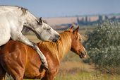 stock photo of copulation  - Grey and red horse mating in the field - JPG