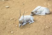 stock photo of antelope horn  - The curved horned antelopes Addax (Addax nasomaculatus) laying relaxing on the ground in an open zoo