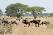 stock photo of wildebeest  - Group of blue wildebeests Connochaetes taurinus crossing a road in Serengeti National Park Tanzania  - JPG