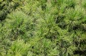foto of pine-needle  - Nature background  - JPG
