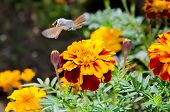 stock photo of hawk moth  - Insect hummingbird hawk - JPG