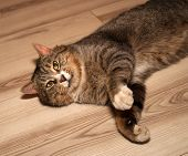 stock photo of yellow tabby  - Tabby cat with yellow eyes lying on floor - JPG