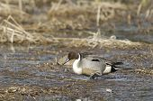image of pintail  - A Northern Pintail wading through wetlands area in Hauser Lake Idaho - JPG