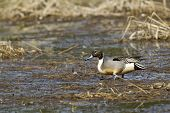 picture of pintail  - A Northern Pintail wading through wetlands area in Hauser Lake Idaho - JPG