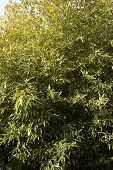 foto of bamboo leaves  - Bamboo leaf on the wind lit by the sun - JPG