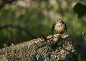 picture of mockingbird  - California Towhee spotted in Heron - JPG