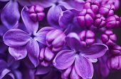 stock photo of stamen  - Macro image of spring lilac violet flowers - JPG