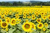 pic of sunflower  - Large happy sunflower and sunflower oil crop on a sunny day in the South of France with a blue sky behind - JPG