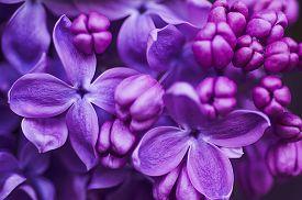 pic of violet flower  - Macro image of spring lilac violet flowers - JPG