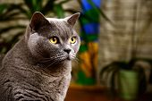 picture of portrait british shorthair cat  - Portrait photo of a british blue cat with amber eyes - JPG