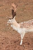 picture of bucks  - Young male fallow deer buck at park - JPG