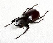 image of rhino  - Rhinoceros beetle - JPG