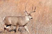 stock photo of mule deer  - Mule deer buck walking through meadow in New Mexico - JPG