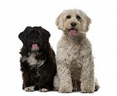 picture of tibetan  - Tibetan Terrier and puppy in front of a white background - JPG
