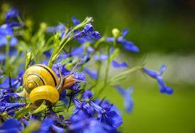 image of lobelia  - Close up of snail on blue lobelia flower in garden - JPG