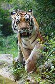 Постер, плакат: Siberian Tiger Looking At The Camera