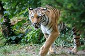 Постер, плакат: Amur Tiger Walking In The Forest