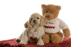 pic of stuffed animals  - american cocker spaniel puppy and teddy bear cuddling with love on white background - JPG