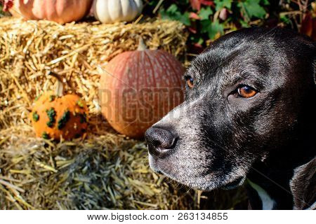 poster of Portrait Of Autumnal Thanksgiving Or Fall Pumpkin Picking Dog Looking In Distance With Pumpkins On H
