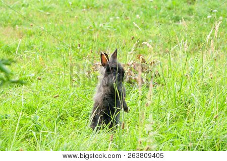 Black Thoroughbred Rabbit In The Grass Rabbit Standing On Two Hind