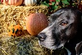 Portrait Of Autumnal Thanksgiving Or Fall Pumpkin Picking Dog Looking In Distance With Pumpkins On H poster