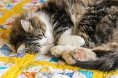 Closeup Of Tabby Cat Resting Curled Up On Yellow Quilt Cover poster