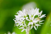 Ramsons (Allium ursinum) (also known as buckrams, wild garlic, broad-leaved garlic, wood garlic or b