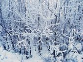 Winter Forest Landscape In Cloudy Frosty Weather. Trees Covered With Thick Layer Of Snow. Winter Fai poster