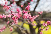 nature, botany, gardening and flora concept - close up of beautiful sakura tree blossoms at park poster